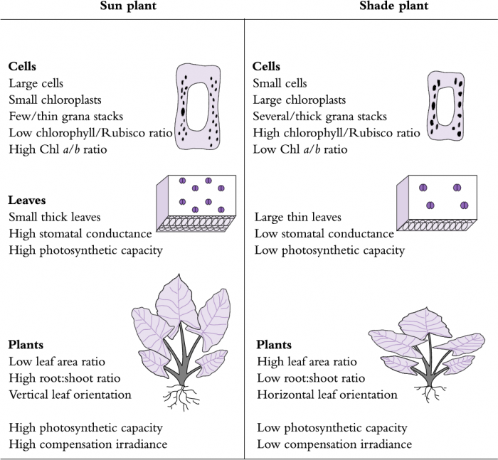 Write an essay on the structure of the leaf and its adaptation for photosynthesis?