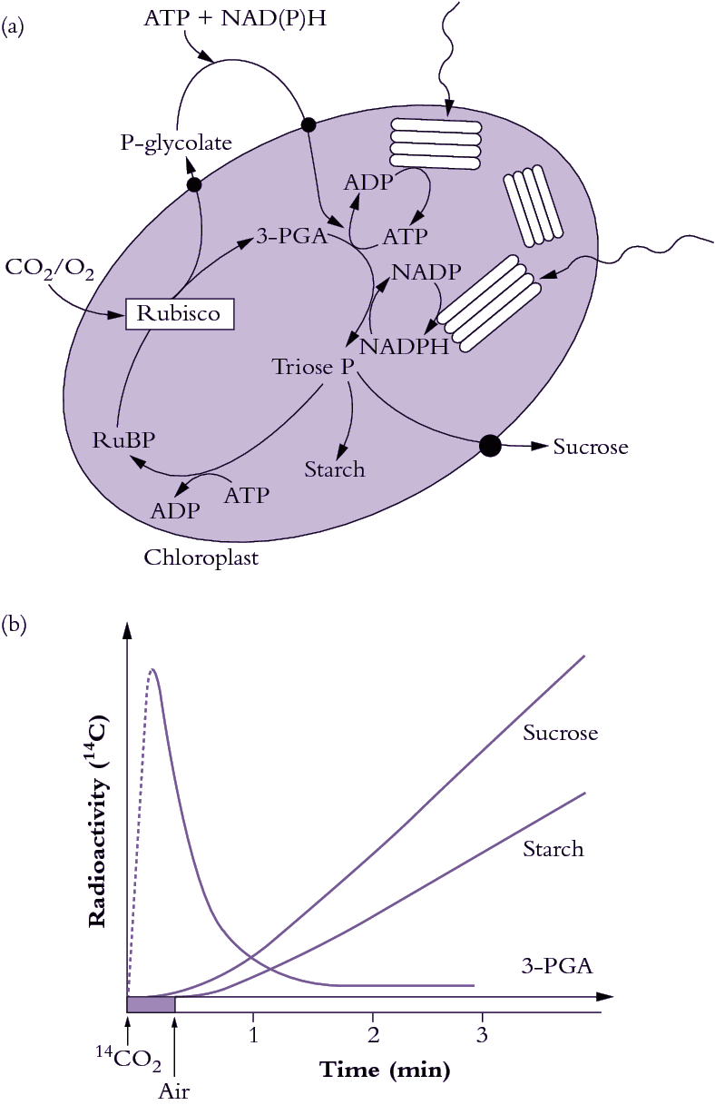 chapter carbon dioxide assimilation and respiration figure 2 1 photosynthetic carbon reduction pcr cycle also termed the calvin benson cycle utilises atp and nadph produced by thylakoid electron transport